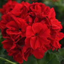 Plante de balcon muscate Pelargonium zonale Dark red, rosu inchis, ghiv 10 cm. Poza 9264