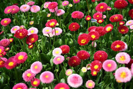 Flori de gradina bienale Bellis perennis mix/ Paralute Flori de gradina la ghivece de 9 cm. Poza 9353