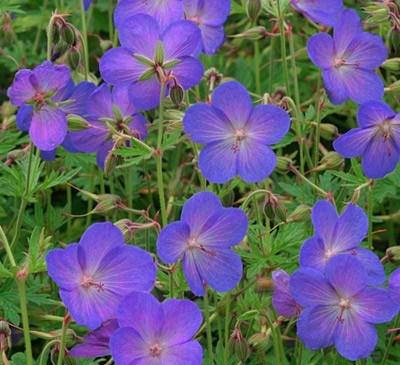 Flori de gradina perene Geranium cinereum Jhonson Blue, flori bleu. Poza 9429