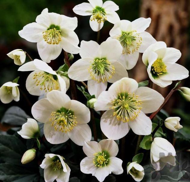 Flori de gradina perene HELLEBORUS NIGER , FLOARE ALBA. Poza 9434