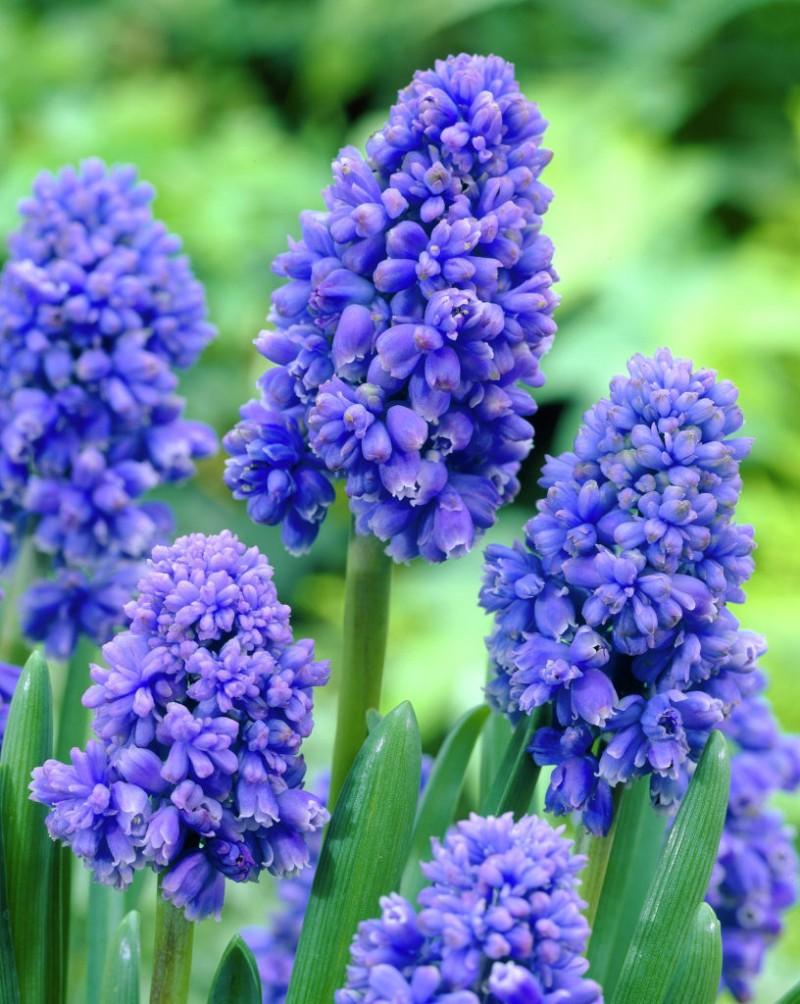 Bulbi de muscari, Muscari Blue Spike , 50 buc/punca. Poza 9513