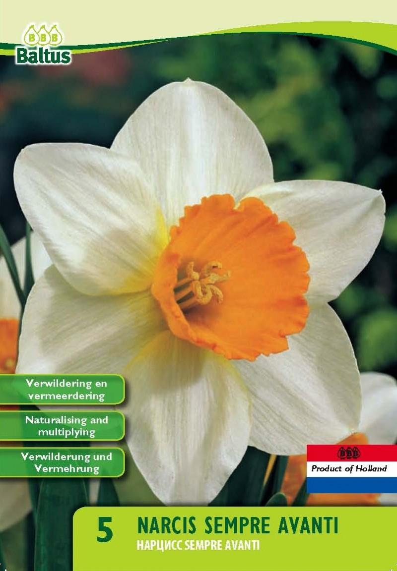 Bulbi de narcise Sempre Avanti, , 5 buc/punga, floare batuta,. Poza 9648