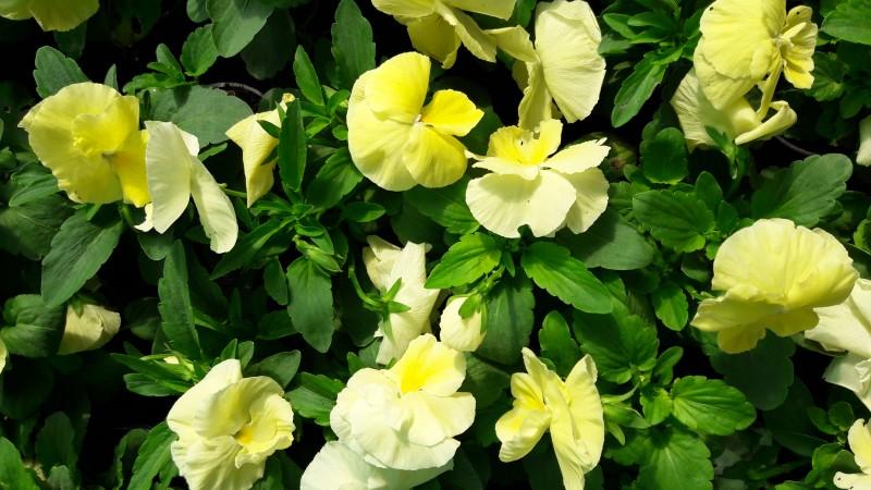 Flori bienale: Panselute, culoare crem. Poza 9658