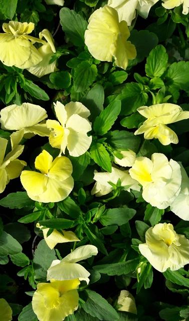 Flori bienale: Panselute, culoare galben-crem. Poza 9659