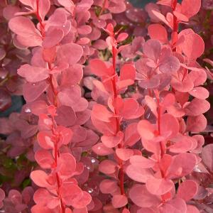 Arbusti Berberis thunbergii Orange Roket. Poza 9740