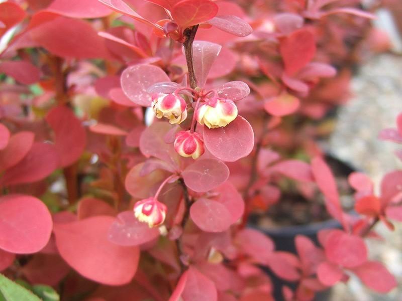 Arbusti Berberis thunbergii Orange Roket. Poza 9741