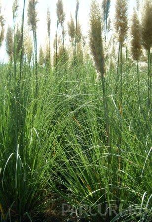 Ierburi graminee Cortaderia selloana Pumilla(iarba de pampas)