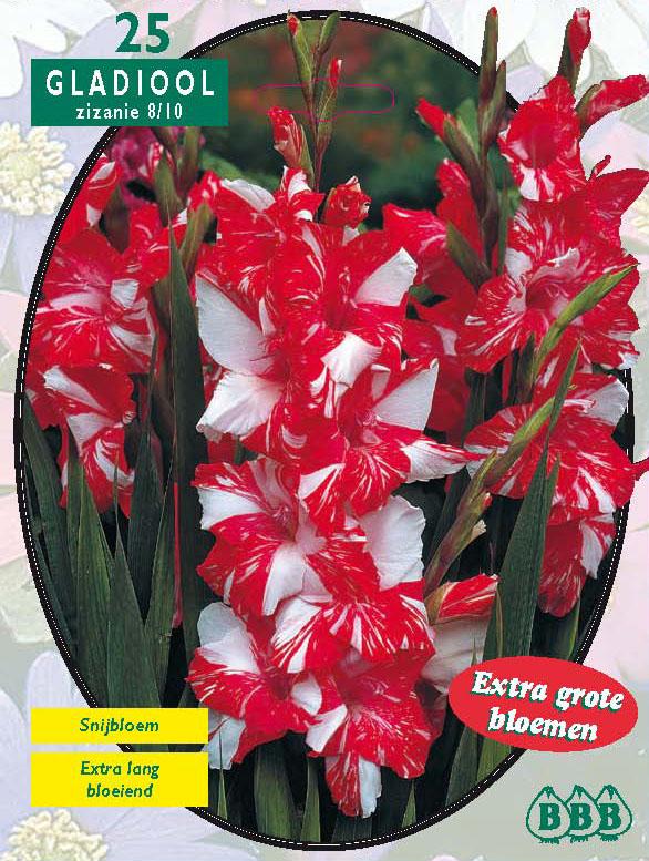 Gladiolus Zizanie. Poza 9807