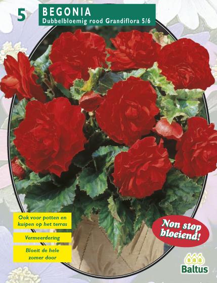 Begonia Dubbel Rood. Poza 9818