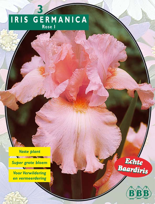 Iris Germanica Rose. Poza 9827