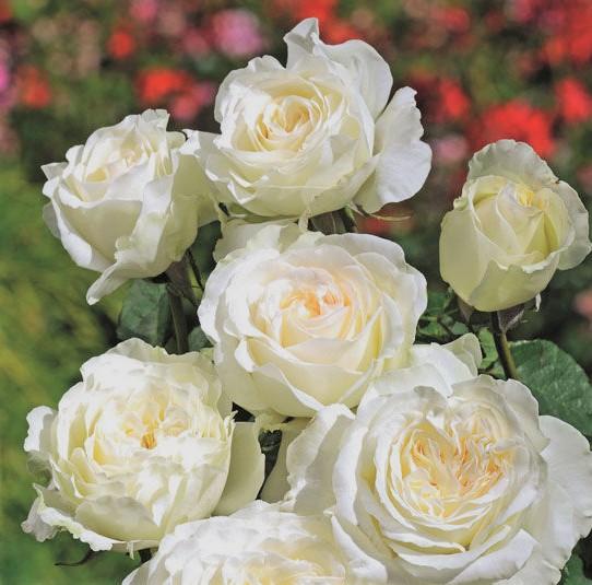 Trandafiri de gradina cu radacina Irina. Poza 9838