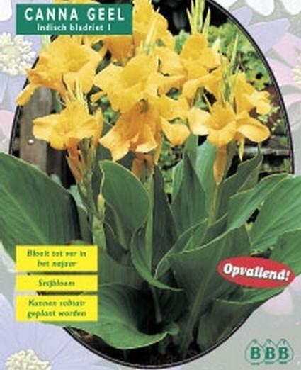 Bulbi flori perene de gradina, `Canna Geel ` , flori culoare galbena, 3 buc/pachet. Poza 9931