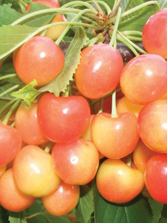 Pomi fructiferi Ciresi soiul `Vega `. Puieti fructiferi altoiti.. Poza 9946