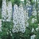 poza Flori de gradina perene Delphinium White, flori albe