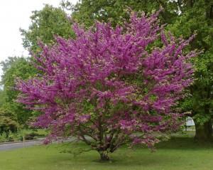 poza Arbori cu flori CERCIS SILIQUASTRUM (Arbore de Iudeea) 12/14circumf trunchi (70 litri)