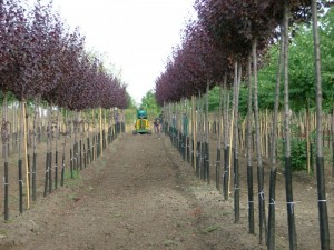poza Arbori foiosi PRUNUS CERASIFERA NIGRA 12-14 circumf. trunchi (50 litri)