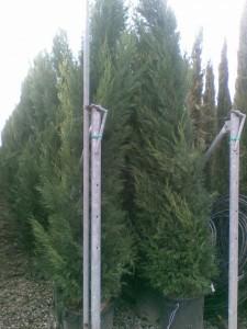Poza Cupressocyparis leylandii 2.5-3m