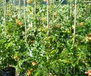 poza Plante cataratoare Bignonia Yellow Trumpet /Trompetica ghiveci 3 litri, h=80-100 cm