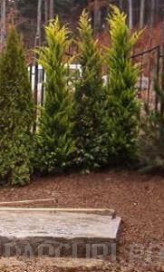 poza Gard viu rasinoase Cupressocyparis leylandii Golden Rider 60-80 cm clt 3/5 l