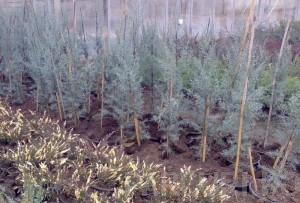 poza Arbori rasinosi CUPRESSUS ARIZONICA GLAUCA ghiveci 3-5  litri, h=60-80cm pt garduri vii