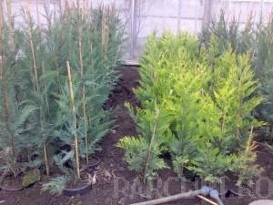 poza Arbori rasinosi CUPRESSOCYPARIS LEYLANDII ghiveci 9 litri, h=125-150 cm