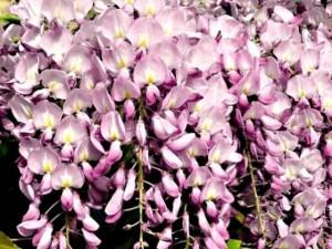 poza Plante urcatoare Wisteria floribunda Rosae (glicina) ghiveci 5-7 litri, h=100-150 cm