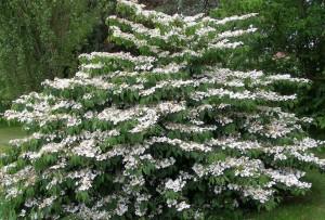poza Arbusti foiosi evergreen VIBURNUM PLICATA MARIESII  ghiveci 5 litri, h=50-60cm