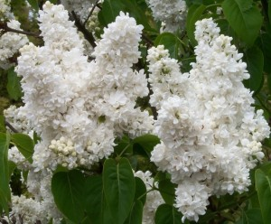poza Liliac alb parfumat cu flori batute SYRINGA VULGARIS 'Madame Lemoine' ghiveci 3-5 litri, h=40-60cm