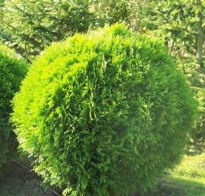 poza Arbusti rasinosi THUJA OCCIDENTALIS 'DANICA' P23 30/40 cm