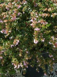 poza Arbusti parfumati de gradina 'ABELIA GRANDIFLORA KALEIDOSCOPE'  in ghiveci de 5 litri, h=30-35 cm tufa formata