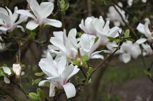 poza Magnolia soulangeana 'Alba Superba' h=40-50cm