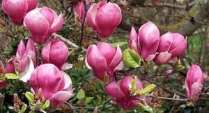 poza Magnolia soulangeana Lenney; h=40-50cm