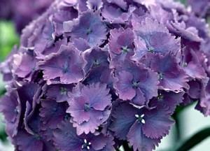 poza Arbusti gradina HYDRANGEA HORTENSIS EUROPA purple (hortensia) h= 60cm ghiveci 10 litri