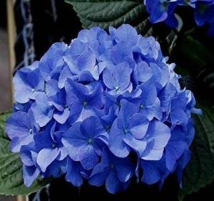 poza Flori perene Hortensia blue/HYDRANGEA HORTENSIS BLUE diam 50 -60 cm, ghiveci  10 litri
