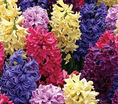 poza Bulbi de zambile,ghiveci 9 cm , culori mix