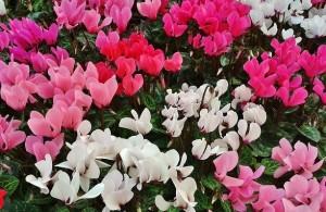 poza Flori de gradina si ghiveci Cyclamen