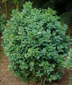 poza Arbusti evergreen BUXUS SEMPERVIRENS-bila C12 025/030