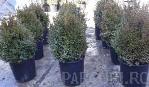 Poza Buxus sempervirens - iarna