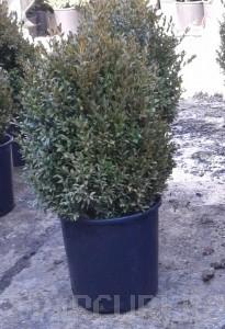 Poza Buxus sempervirens -iarna