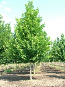 poza Arbori foiosi ACER PLATANOIDES EMERALD QUEEN 16/18 circumf trunchi (120 litri)