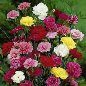 poza Flori de gradina perene GAROFITE/ `Dianthus mix`,culori diferite