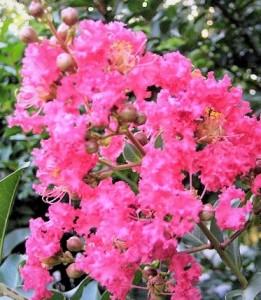 poza NOU!! Lagerstroemia indica Petite Pink (liliac indian), ghiveci 10 l, h=60-100