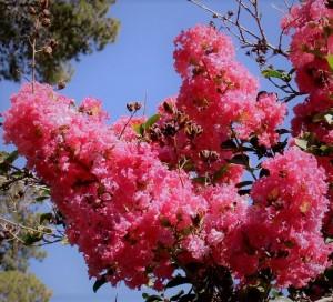 poza NOU!! Lagerstroemia indica Rosea  Grasii (liliac indian), ghiveci 3 l, h=80-100cm