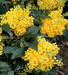 poza Arbust frunze persistente MAHONIA AQUIFOLIUM ghiveci 10 litri, h= 60-80cm