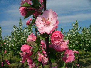 poza Arbori foiosi MALUS 'Brendy Wine' circumf. trunchi6/8  (35 litri)