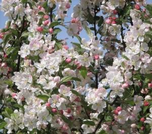poza Arbori foiosi MALUS ' Evereste'  Meri floriferi 8/10 circumf. trunchi (35 litri)