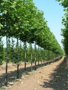 poza Arbori foiosi PLATANUS ACERIFOLIA  10/12 circumf. trunchi (50 litri)