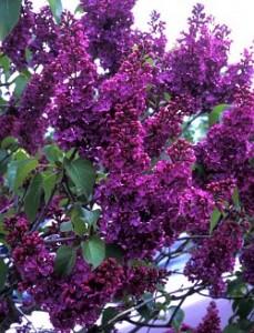 Poza Liliac mov parfumat cu flori simple Syringa vulgaris Andenken an Ludwig Spath
