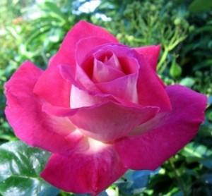 poza Trandafir de gradina cu radacina Rose Guajard la ghiveci de 3 litri