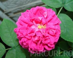 poza Trandafir pentru dulceata,  soiul `Sachsengruss` in ghiveci de 3 litri